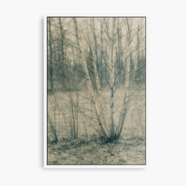 untitled - Lou Campbell nature preserve birch tree Metal Print