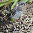 Baby mockingbird after 1 st landing by Anthony Goldman