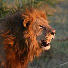 Male lion in botswana dusk( I am the still in control of this pride!) by Anthony Goldman