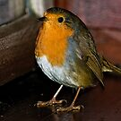 Inquisitive Robin by Brian Tarr