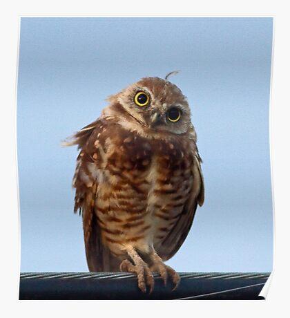 072810 Burrowing Owl Poster
