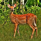 Whitetail Fawn by Larry Trupp