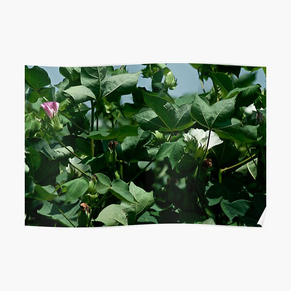 Cotton Blooms Poster