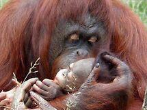 Bornean orangutan by angeljootje