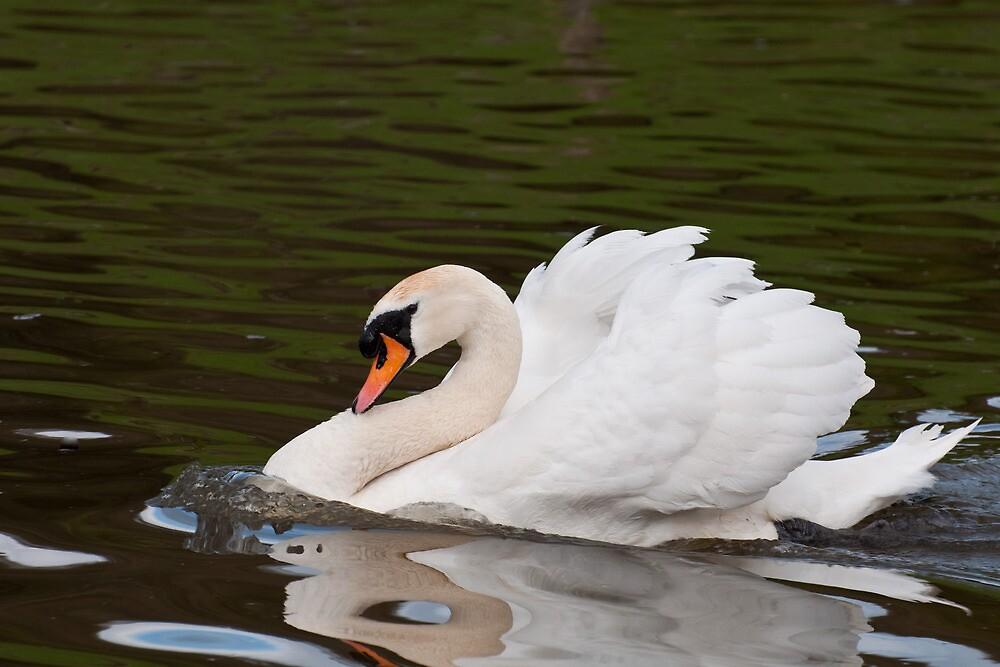 Grumps: Male Mute Swan by Ann Miller