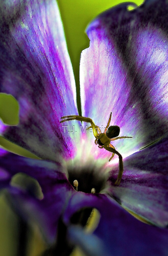 Lavender Fall Phlox - Yellow Spider by T.J. Martin