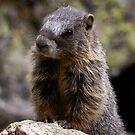 Marmot by Betsy  Seeton