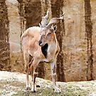 Markhor Screw Horn Ziege von MarkUK97
