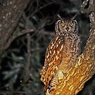 Spotted eagle owl by Anthony Goldman