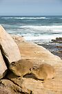 Rock Hyrax (Procavia capensis) at Cape of Good Hope, South Africa by Neville Jones