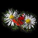 zwei Gänseblümchen mit einem Schmetterling von rhnaturestyles