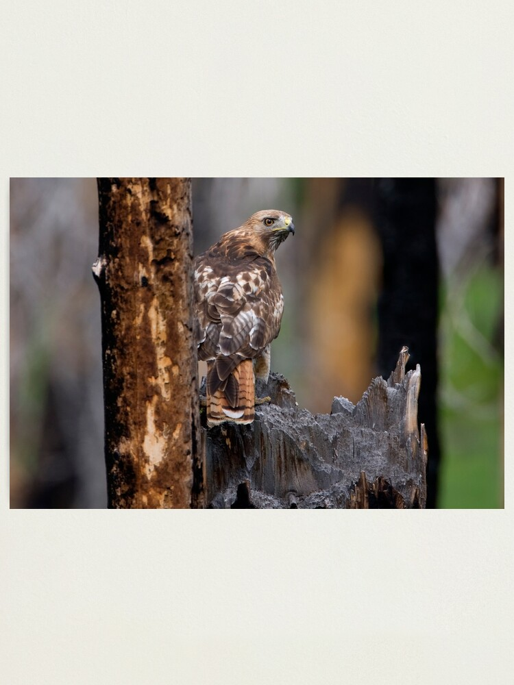 Alternate view of Red-tailed Hawk Photographic Print