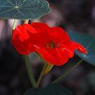 Red Nasturtium by Lozzar Flowers & Art