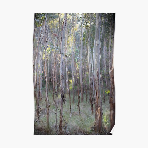 Eucalyptus Trees, Tidbinbilla Nature Reserve, Canberra Poster