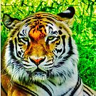 Bengal Tiger's Stare by Beth Brightman