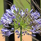 Agapanthus beauty by Maree Clarkson