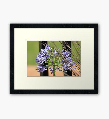 Agapanthus beauty Framed Print