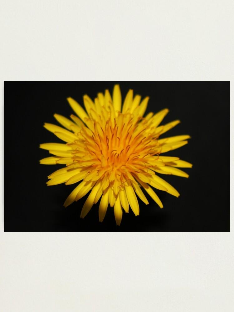 Alternate view of Dandelion Flower Photographic Print