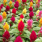 Celosia in bloom by shawn50