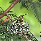Mutter Kolibri auf Nest von Peggy Collins