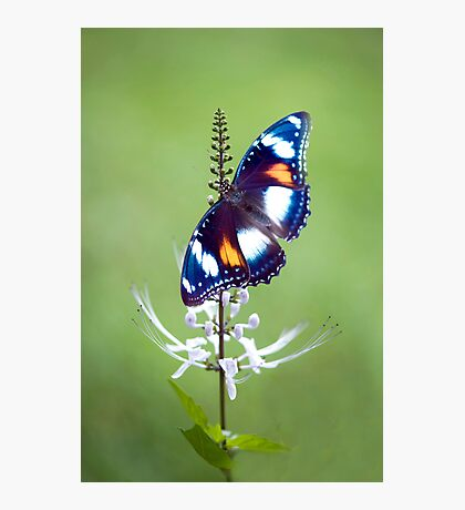 Wings - common eggfly butterfly Photographic Print