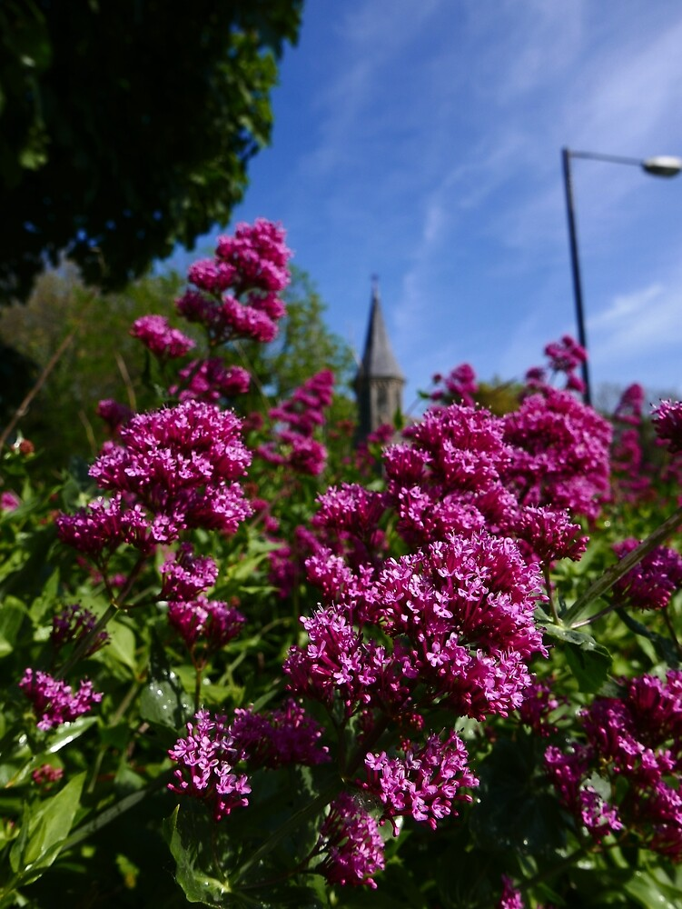 Red Valerian (Centranthus ruber) by IOMWildFlowers
