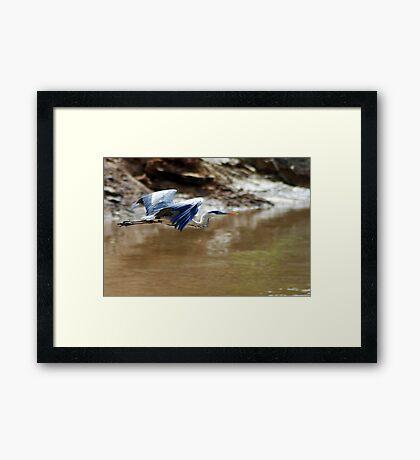 White-necked Heron (Ardea cocoi) Framed Print