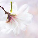 Hübsch in der Pastellstern-Magnolie von Anita Pollak