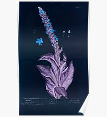 A curious herbal Elisabeth Blackwell John Norse Samuel Harding 1737 0020 Mullein Hia Taper Inverted Poster