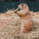 Black tailed Prairie dogs (Cynomys)  by Elaine123