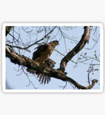 COOPER'S HAWK Sticker