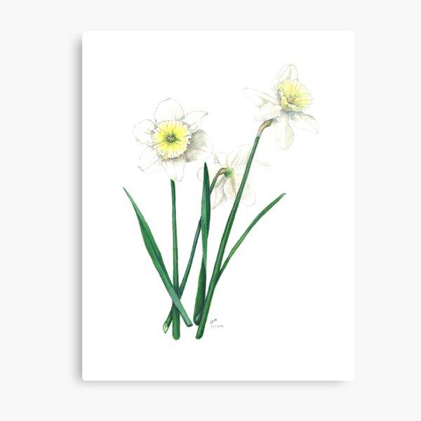 "White Daffodils - ""Ice Follies"" Botanical Illustration Metal Print"