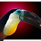 Channel-billed toucan  by DutchLumix