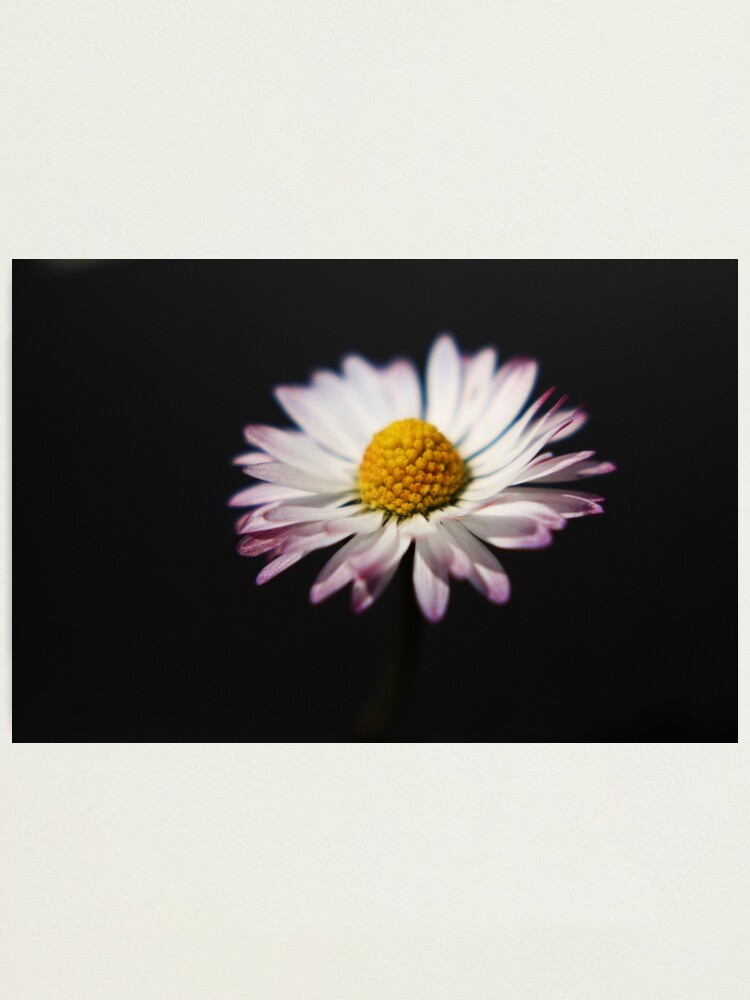 Alternate view of Common Daisy Photographic Print