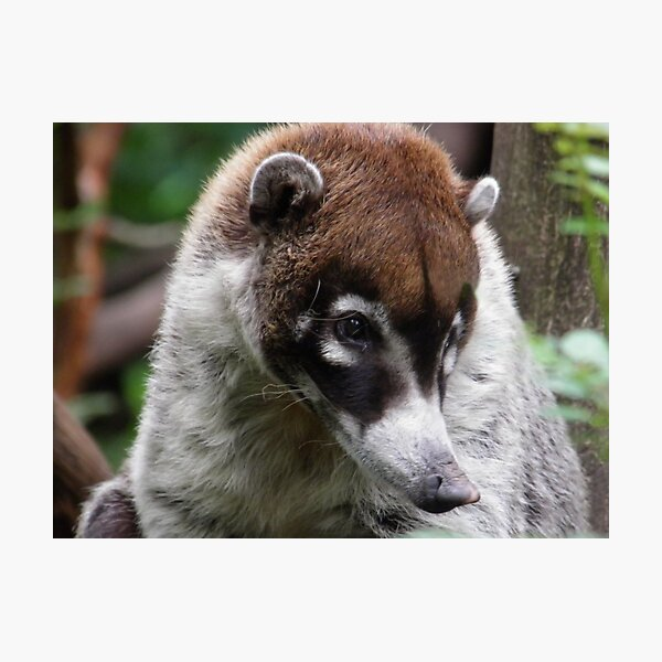 The White-nosed Coati  Photographic Print