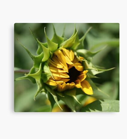 Shy Opening Canvas Print