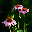 Three Purple Coneflowers by LeeAnne Emrick