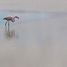 Greater flamingo in a lake by pietrofoto