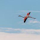Greater flamingo in flight by pietrofoto