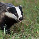 European Badger by Peter Denness