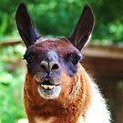 Llama Laugh by Alison M