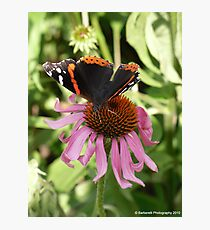Butterfly on Doubledecker Pink Coneflower Photographic Print