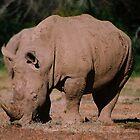 White Rhino by Alexa Pereira