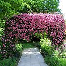 Beautiful Clematis Arch by hootonles