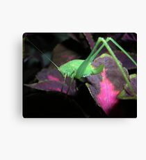 Baby orthoptera Canvas Print