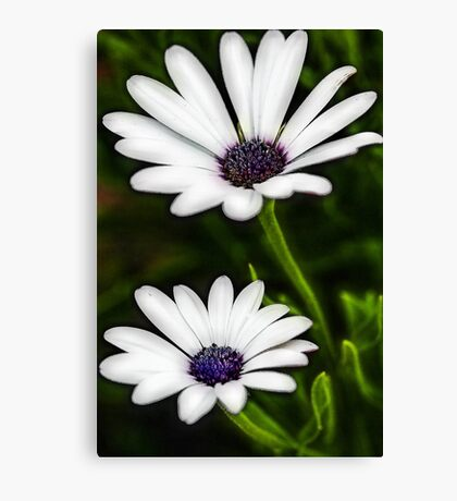 -White African Daisy Canvas Print