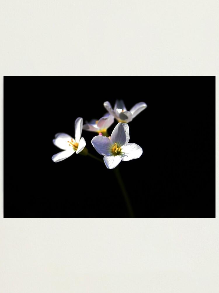 Alternate view of Cardamine Pratensis Flowers Photographic Print