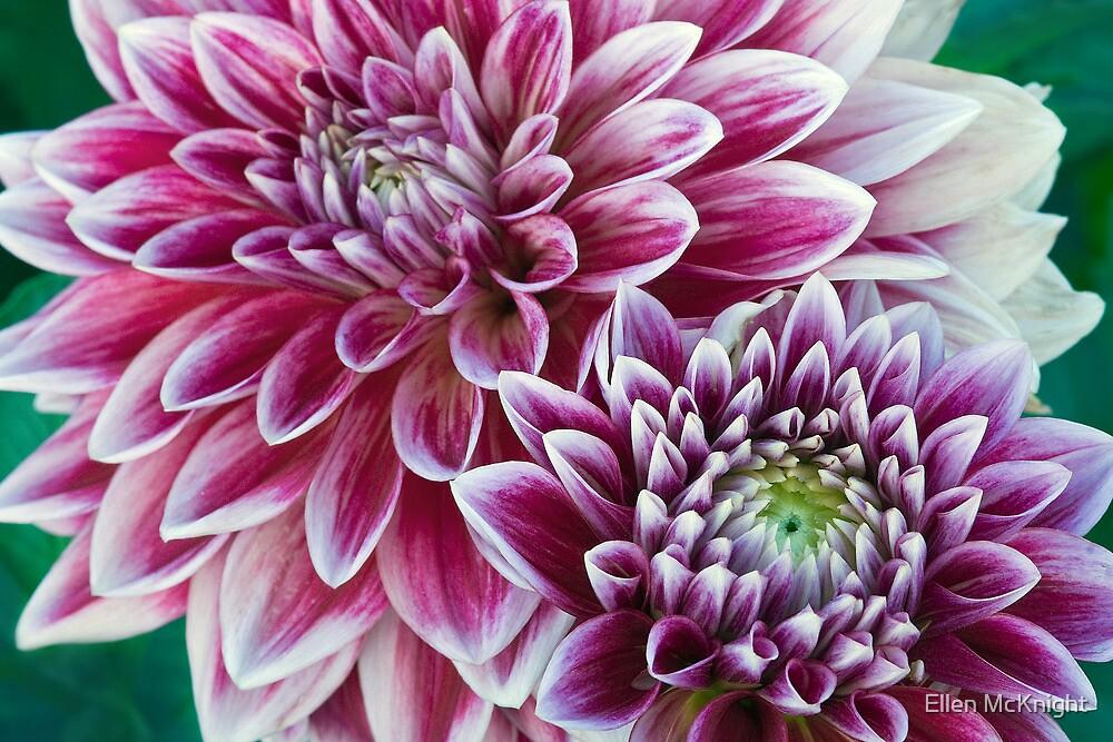 Purple Dahlias by Ellen McKnight