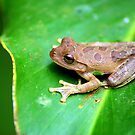 Drab Treefrog (Smilisca sordida) - Costa Rica by Jason Weigner