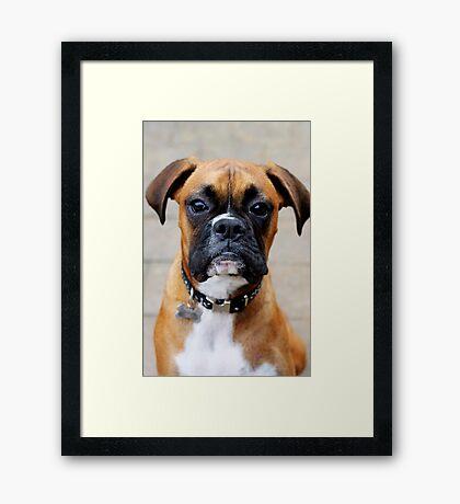 Boxer-Porträt - Boxer-Hundeserie Gerahmter Kunstdruck